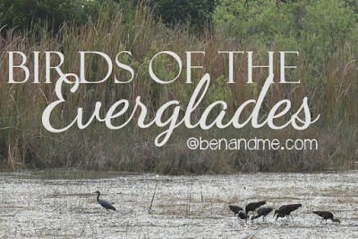 B is for Birds of the Everglades