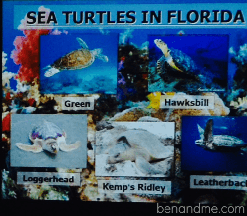 On a recent trip to the Florida Keys, our family spent the morning at the very first sea turtle hospital in the U.S. Enjoy a virtual tour + resources for homeschool study!